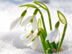 The brave heart of a snowdrop omraam words of light