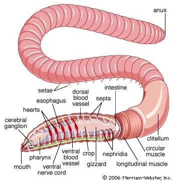 earthworm diagram and functions chapter 35 at knoxville catholic high school studyblue