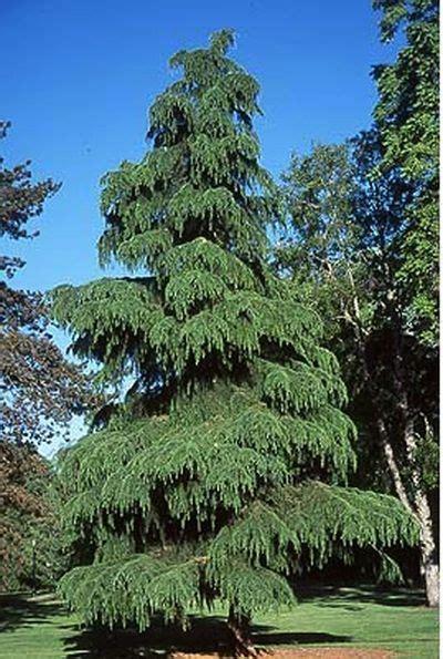 deodara cedar trees    unusual cone