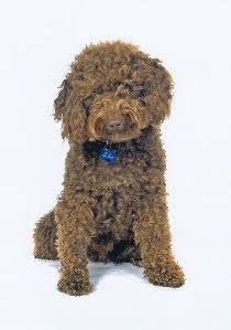 doodle signs camberley miniature australian labradoodle stud camberley surrey
