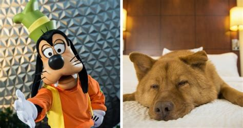 dogs at disney world for the time disney world hotels will allow guests