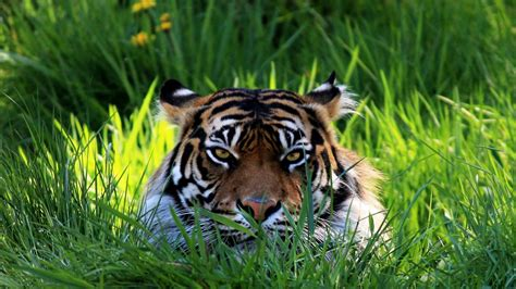 imagenes 4k tigre wallpapers hd de tigres de bengala lanaturaleza es