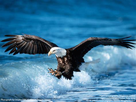 Funny Pictures Gallery: Eagle bird, eagle birds, golden ...
