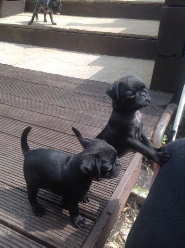 pug puppies for sale sheffield pug puppies for sale sheffield south pets4homes