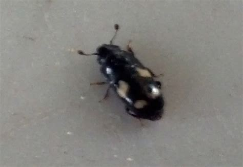 why do bed bugs come out at night four spotted sap beetles attracted to vinegar what s that bug
