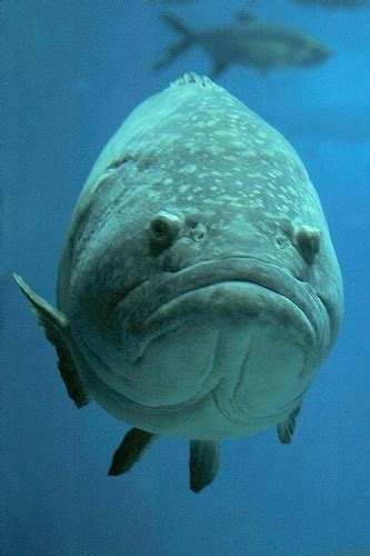 bid fish big fish big frown i think it s a grouper i ve seen