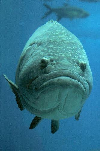bid fish big fish big frown i think it s a grouper i ve seen