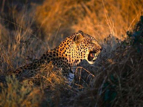 imagenes del jaguar en su habitat sfondi irreali giorgiotave it
