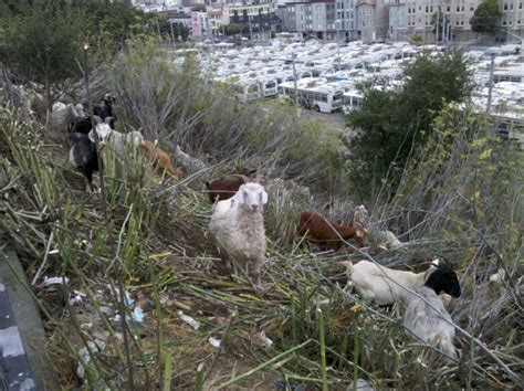 the backyard goat goats at the muni yard