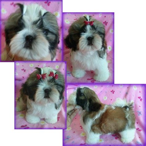 shih tzu rescue northern california 1000 ideas about shih tzu for sale on shih tzu puppy shih tzu and