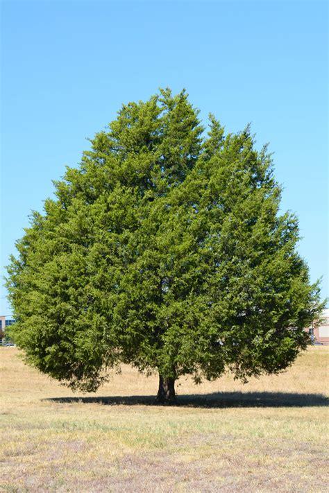 cedar trees tree species profiles shade trees eastern cedar