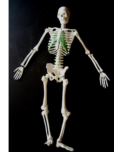 a skeleton anatomy