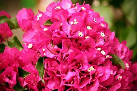 grenada national flower photo