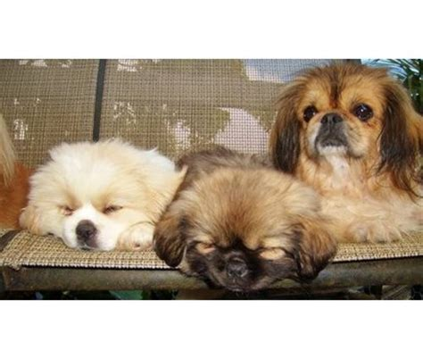 rottweiler puppies for sale in oahu hawaii 115 best tibetan spaniel images on spaniel and breeds