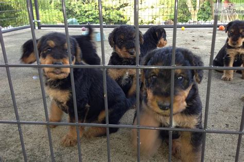 puppies for sale in evansville indiana airedale terrier puppy for sale near evansville indiana b7dc8de5 81e1