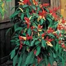 Benih Cabe Chili benih cabe habanero bibitbunga