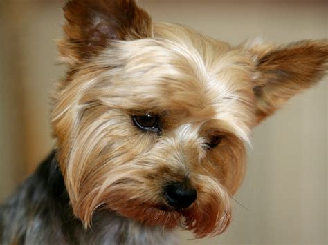 hair yorkie puppies terrier