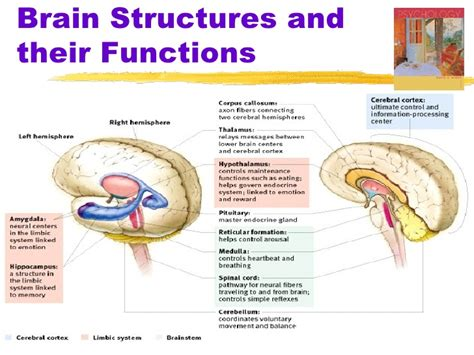 sections of the brain and their functions brain parts and functions johny fit