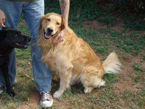 golden retriever rescue in arizona oscar southern arizona golden retriever rescue