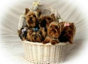 how much does a purebred yorkie cost how much does a yorkie puppy cost terrier price ranges yorkie