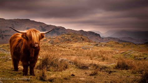 Photo of the Week: Highland Cattle – Lake District ...
