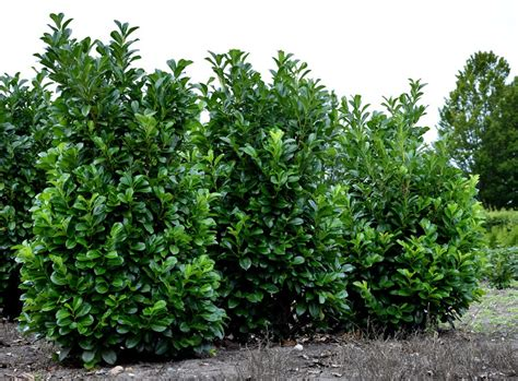 Kirschlorbeer Rotundifolia Kaufen by Rundbl 228 Ttriger Kirschlorbeer Prunus Laurocerasus
