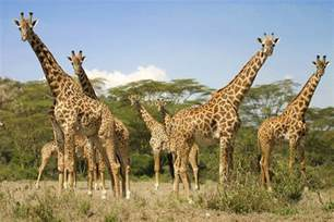 girafe mieux conna 238 tre les girafes et leurs girafons