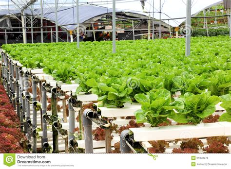 Agriculture   Hydroponic Vegetable Farm Royalty Free Stock