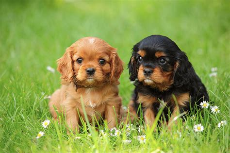 cavalier king charles spaniel puppies price cavalier king charles spaniel facts pictures puppies temperament breeders price