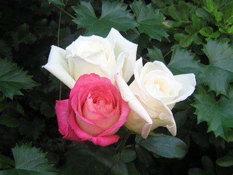 imagenes flores de otoño fotos de rosas rosas