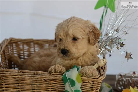 goldendoodle puppies for sale in nc goldendoodle puppy for sale near carolina