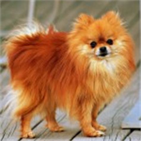 pomeranian temperament facts pomeranian puppies rescue pictures information temperament characteristics
