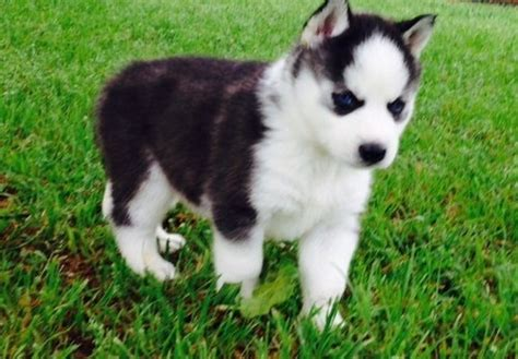 all puppy akc purebred siberian husky puppies all are black white dogs