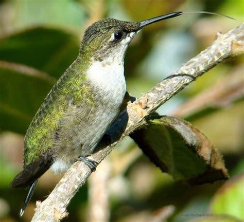 14 best hummingbird migration images on pinterest