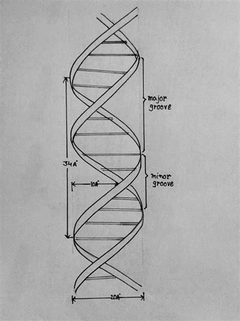 drawing structure draw it neat how to draw dna