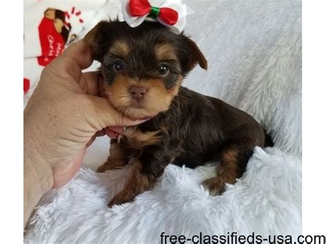 free puppies baltimore maryland and yorkie puppies animals baltimore maryland announcement 49573