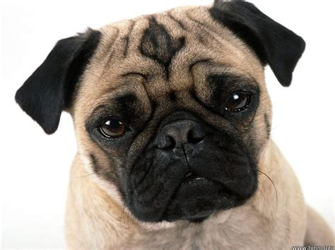 pug puppy information pug breed standard info pet it apparel