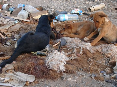 junkyard dogs file junkyard dogs essaouira 5235656562 jpg wikimedia commons