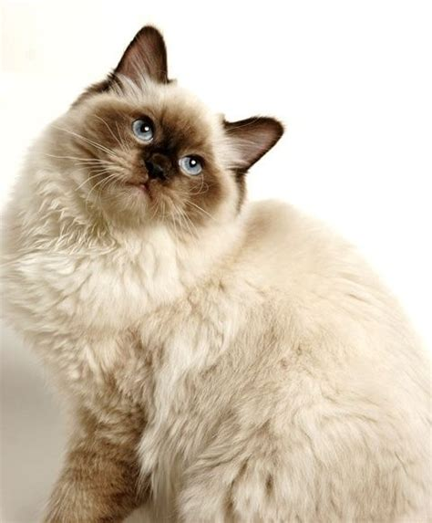 2 ragdolls better than 1 1000 images about cats of all shapes and sizes on