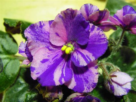 african violet chimera african violets and seed production chimeraav com