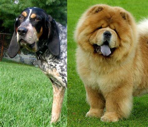 blue tick hound golden retriever mix coonhound rottweiler mix breeds picture