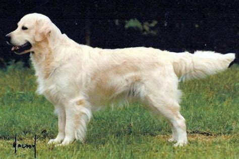 european golden retrievers what is a european golden retriever tree ranch european american golden