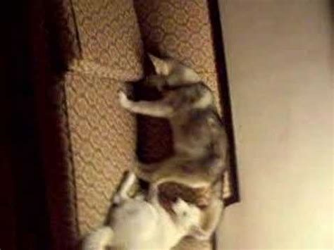 grey wolf puppies for sale grey wolf puppies for sale
