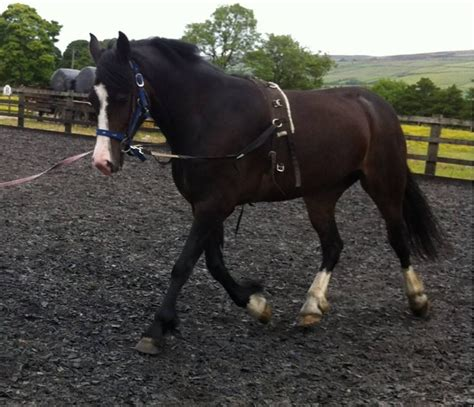 welsh section d for sale uk welsh section d mare for sale swap colne lancashire