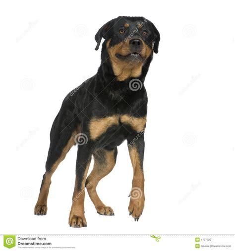 rottweiler 2 years rottweiler 2 years stock photo image 4737320