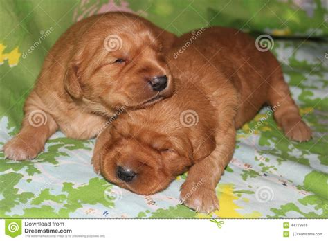 2 week golden retriever puppies two week golden retriever puppies napping stock photo image 44779916