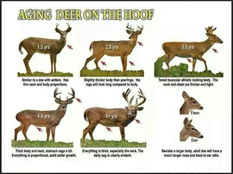 how to tell how a buck is how to age a whitetail buck