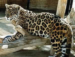 What Part Of The Rainforest Do Jaguars Live In Animals And How They Live