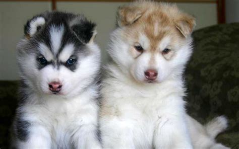 ta puppies alaskan husky dogs breeds nordic sled pets
