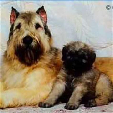 bouvier puppies for sale bouvier des flandres puppies for sale